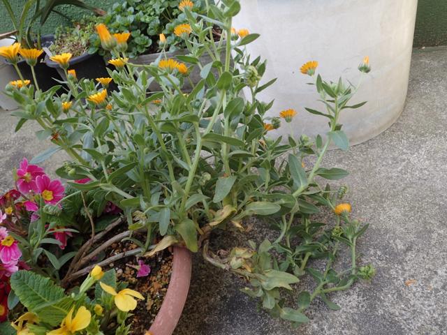 カレンヂュラの花