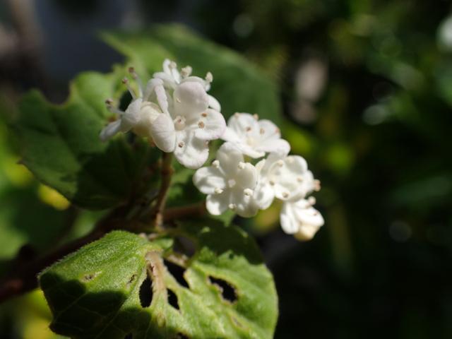 コバノガマズミの花