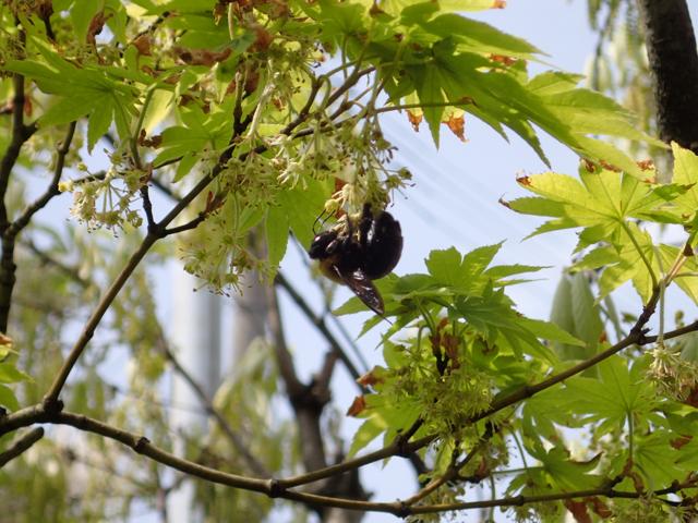 クマバチとカエデの花