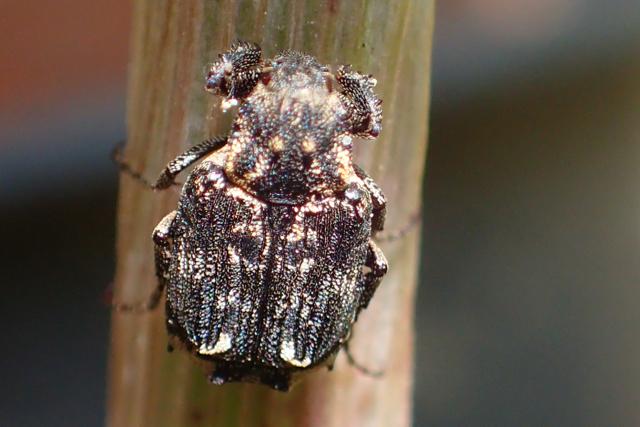 不明の昆虫1