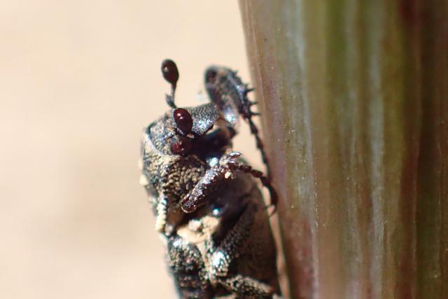 不明の昆虫1触角