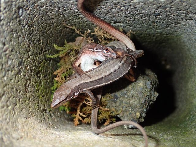 カナヘビ交接1