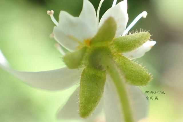 ユキノシタ--萼