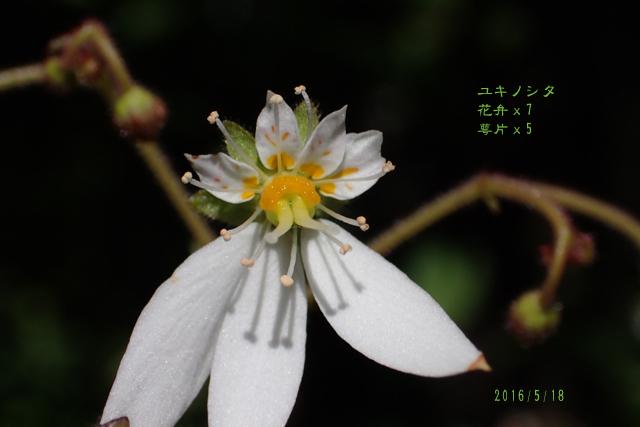 ユキノシタ 花