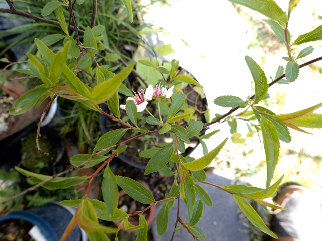 不明の木 花
