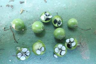 アスパラ若い種子