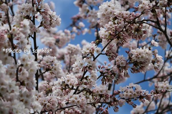 咲いた、咲いた!Ⅱ