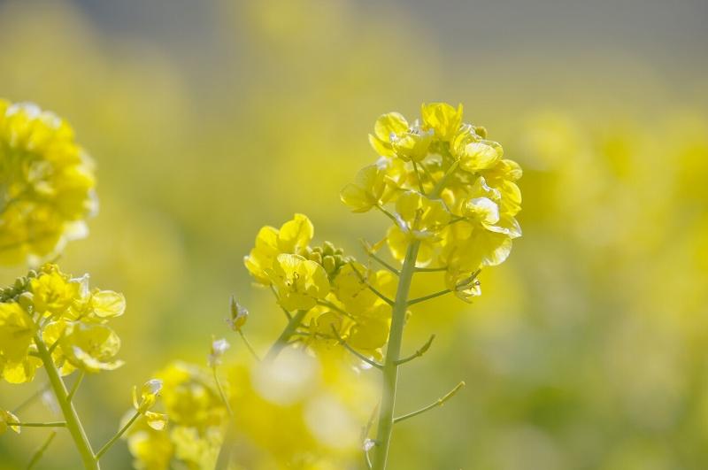 あわじ花さじき 早咲き菜の花