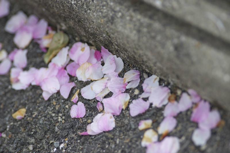 和歌山・地蔵の辻の早咲き桜