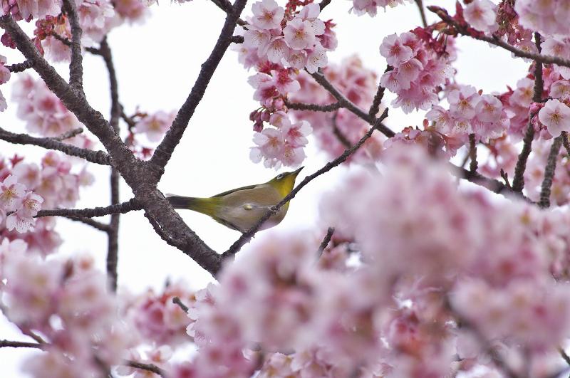 歌山・地蔵の辻の早咲き桜