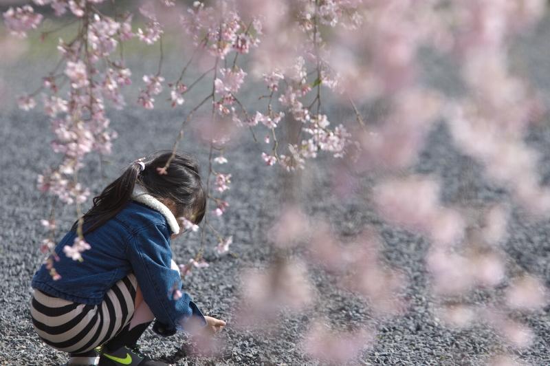 奈良 天理教教会本部 枝しだれ桜