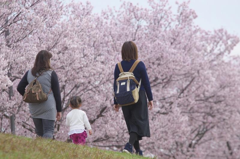 狭山池 ラバー・ダック 2016年 桜