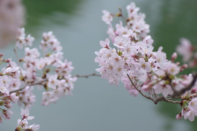 四天王寺 桜