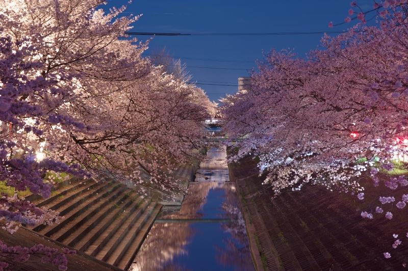 高田川畔・大中公園の千本桜・夜桜ライトアップ