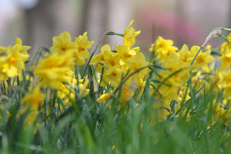 大泉緑地 黄色い水仙