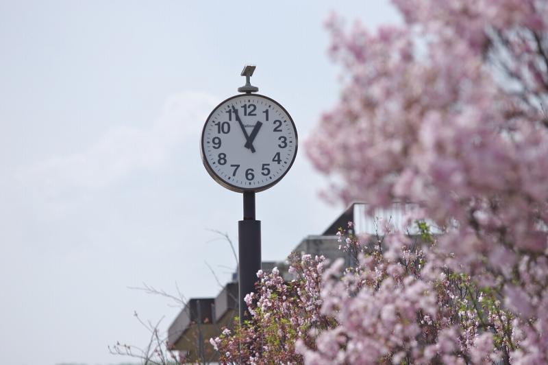 狭山池 桜 時計