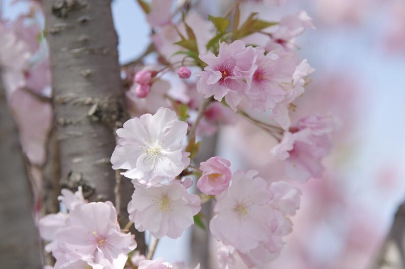 狭山池 桜