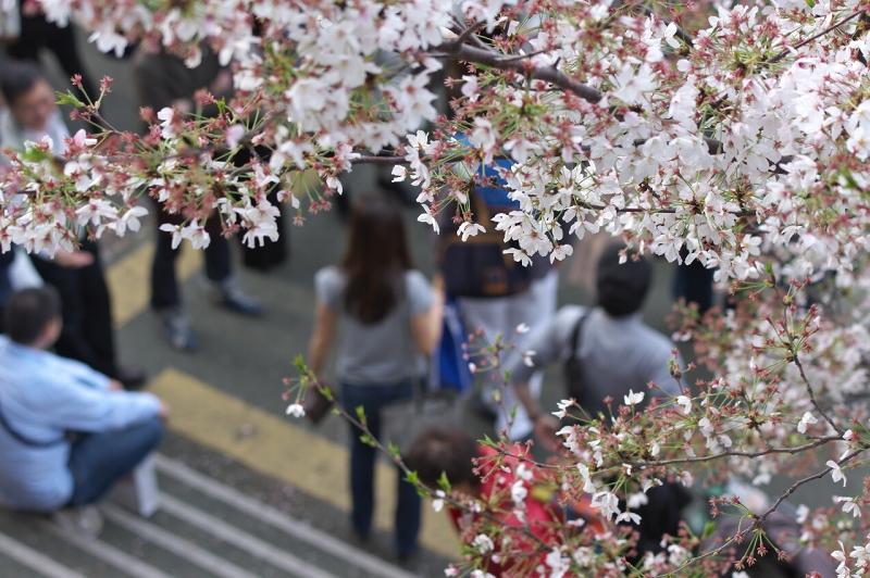 八軒家浜 桜