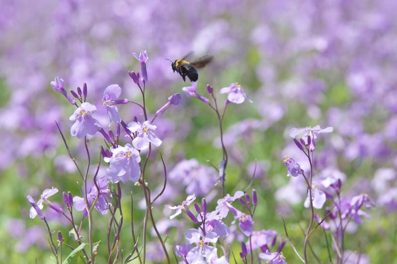 春のあわじ花さじき ムラサキハナナ
