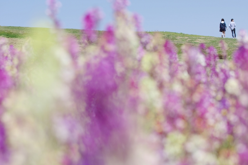 春のあわじ花さじき リナリア