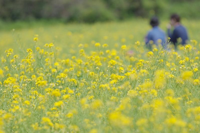 春のあわじ花さじき なのはな