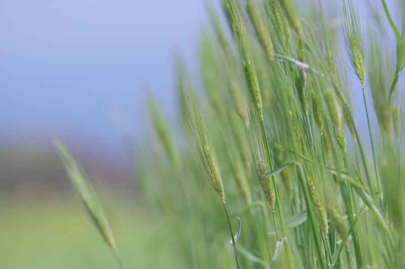 春のあわじ花さじき 麦