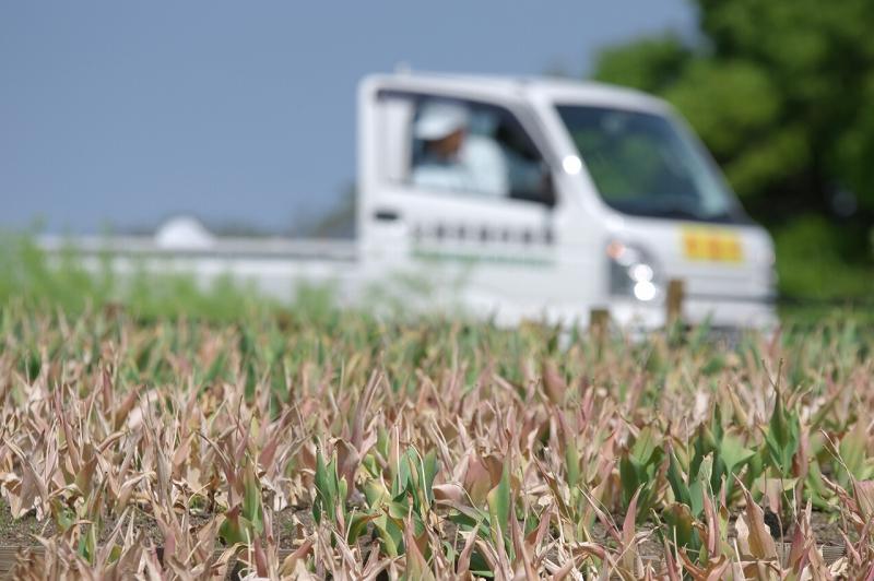 鶴見緑地公園 チューリップ畑