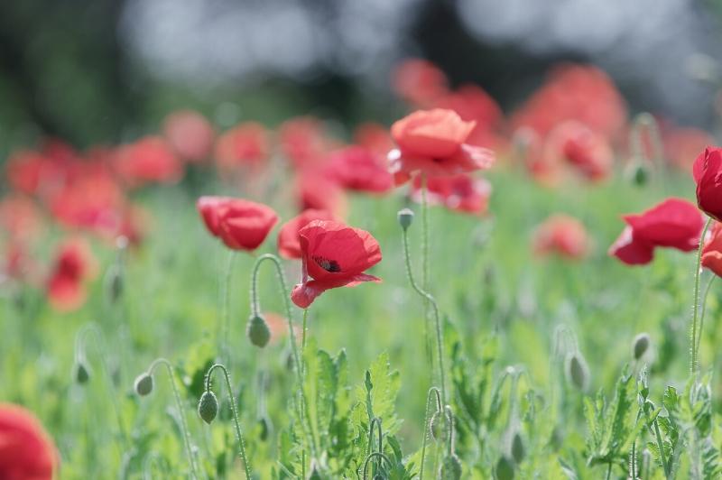 鶴見緑地公園 赤いポピー