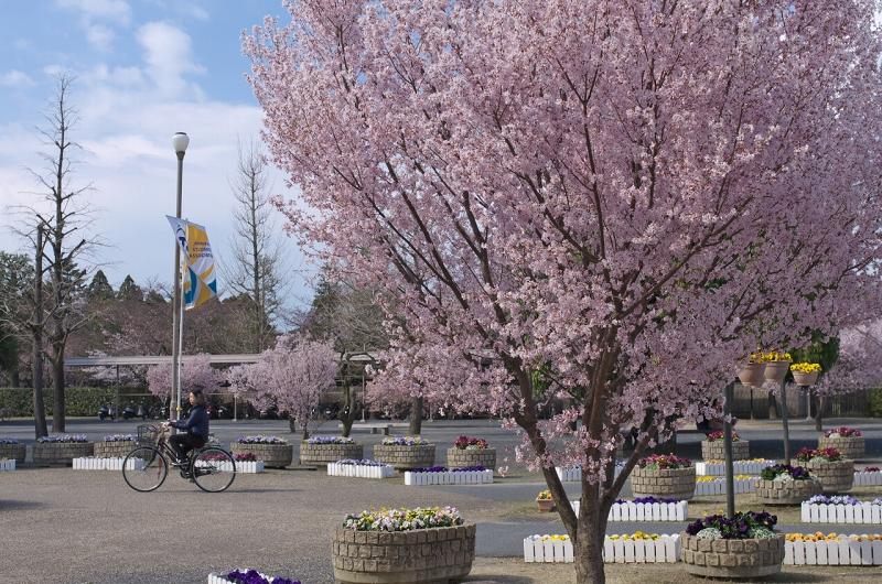 奈良 天理教教会本部 エドヒガンザクラ