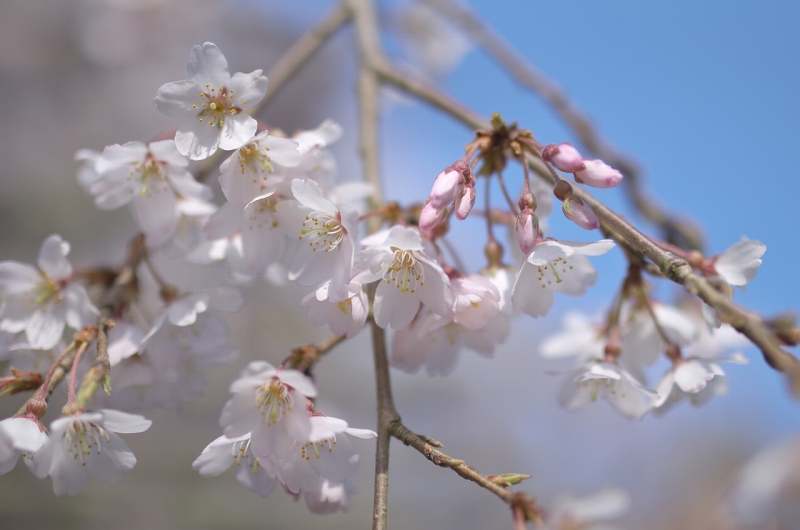 奈良 天理教教会本部 しだれ桜