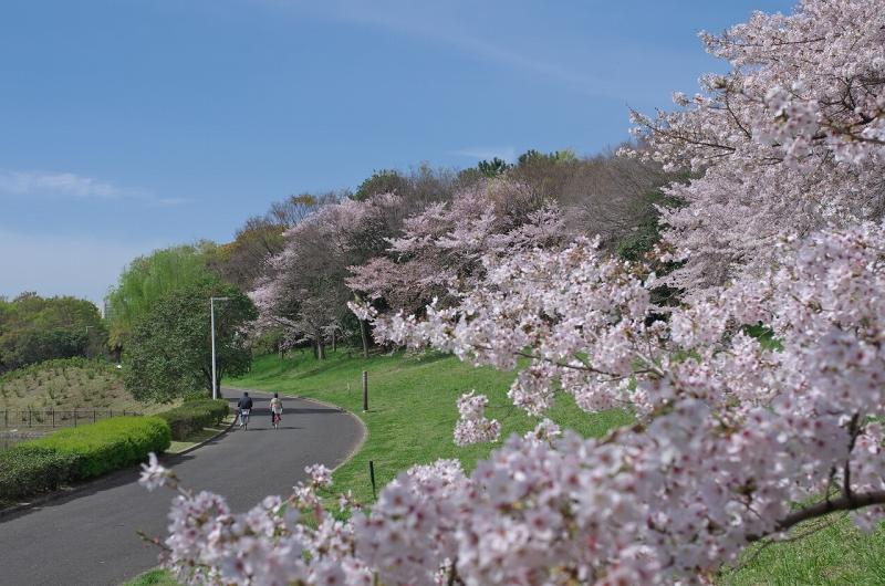大泉緑地 春 桜