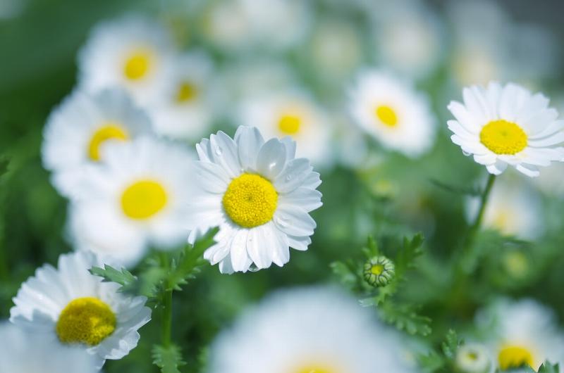 大泉緑地 春の花壇 ノースポール