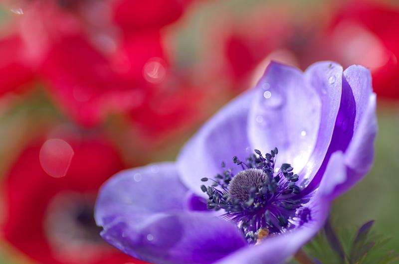 大泉緑地 春の花壇 アネモネ