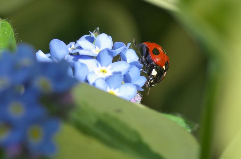 大泉緑地 春の花壇 てんとう虫