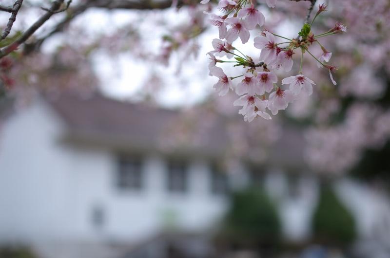 旧丹生小学校の桜 下市町コミュニティー体育館 廃校の桜