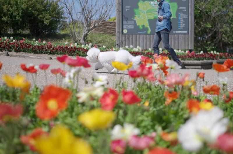 春のあわじ花さじき ポピー
