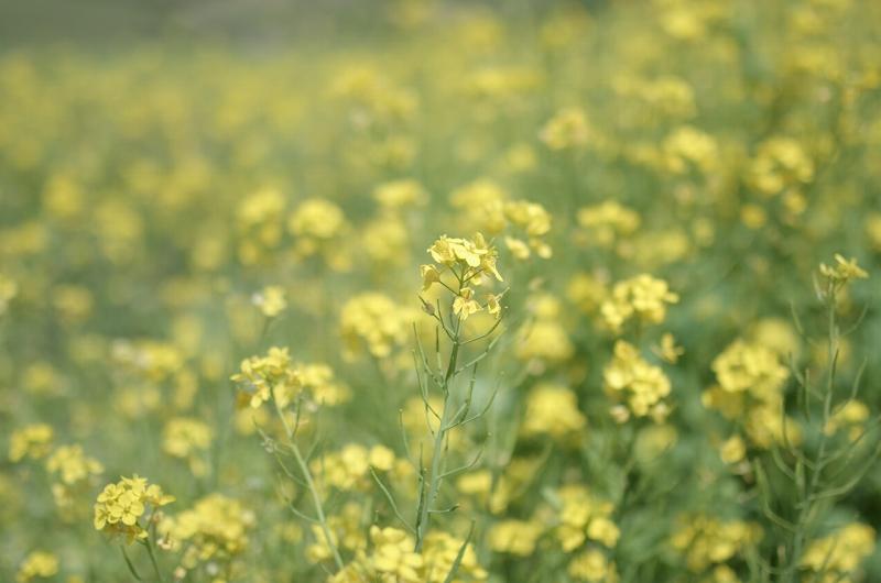 春のあわじ花さじき 菜の花畑