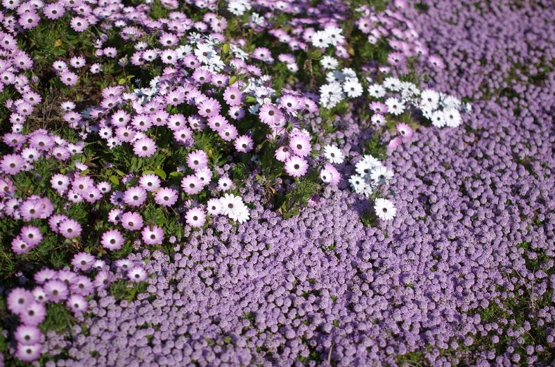 明石海峡公園 ピンクの花たち