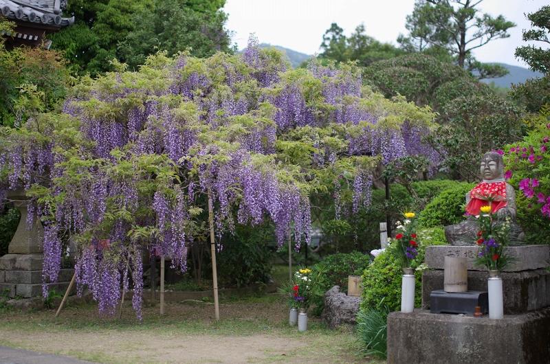 子安地蔵寺の藤と春の花々