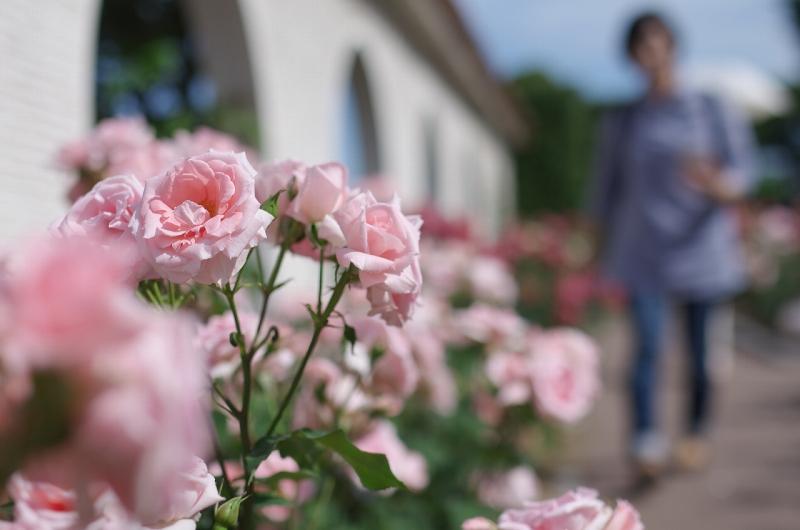 荒牧バラ公園 薔薇 2016