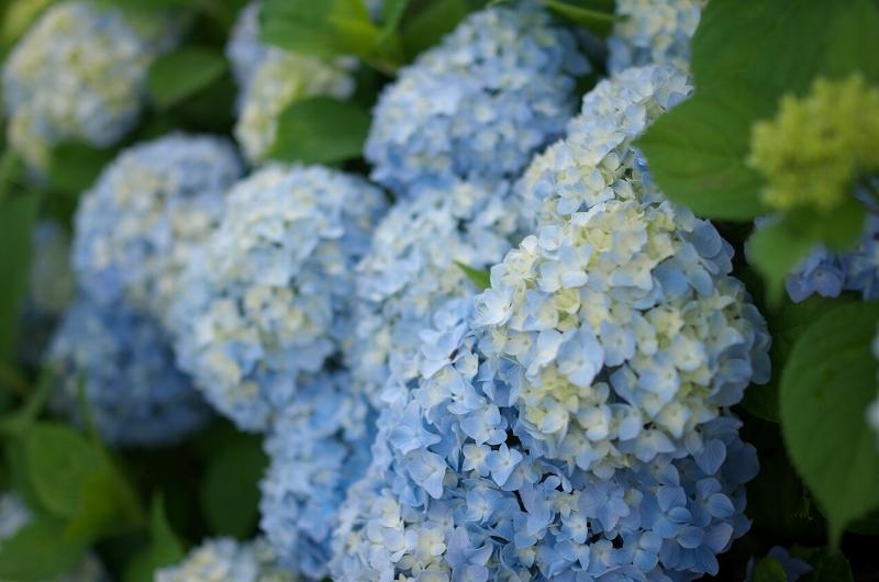 下赤阪の棚田の紫陽花