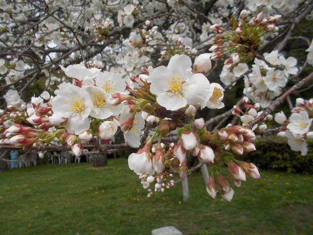 いろいろな桜1