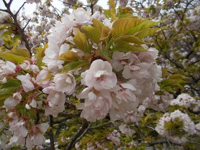 いろいろな桜2