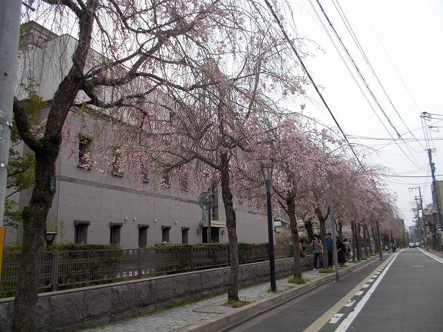 裁判所のしだれ桜