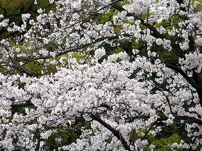 4/2満開の桜