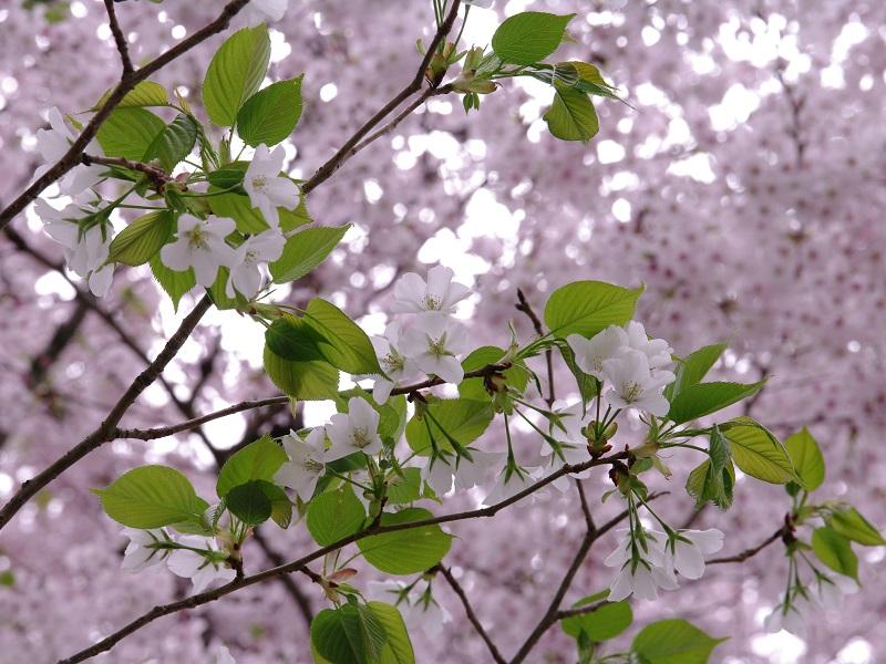 醍醐寺 桜の花の種類が多いです