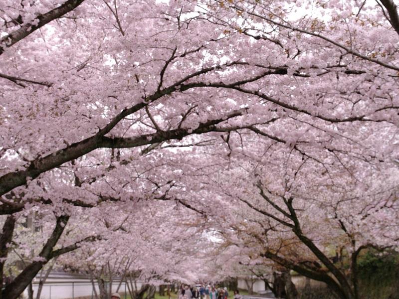 醍醐寺 桜並木