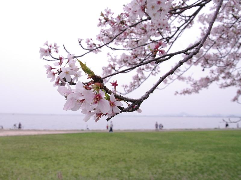 びわ湖湖岸の桜 その1