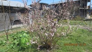 1暖地桜桃