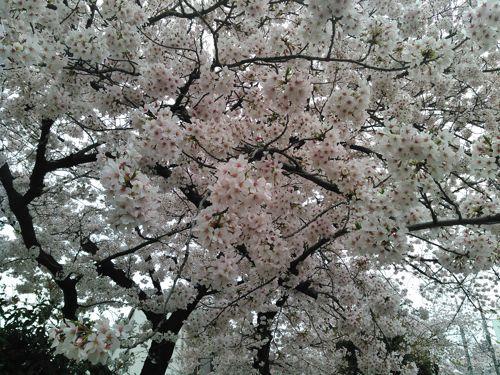 自由が丘桜並木